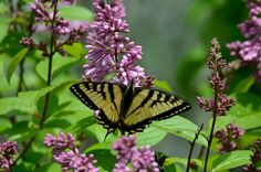 Yellow tiger swallowtail butterfly in my lilacs