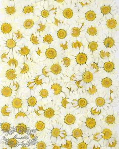 Set of 100 Pieces X Yellow Daisies with Branch Real Dry Pressed Flower Preserved Wild Flowers Flat Dried Petals dry leaves with stem