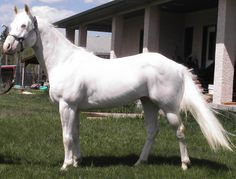 Whata Lethal Weapon - Rare solid white Paint Horse stallion