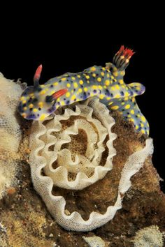 Hypselodoris kanga, 1.6 inches long, uses its sticky foot to secure an egg ribbon extruded from an oviduct on its side; hatchlings by the thousands will soon disperse with the currents.