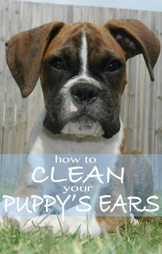 how to clean your puppy's ears and keep them healthy