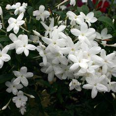 Jasminum polyanthum AGM