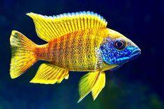 10 ɝžæ´²æ…ˆé¯›ç§' Ideas Cichlid Fish African Cichlids Aquarium Fish