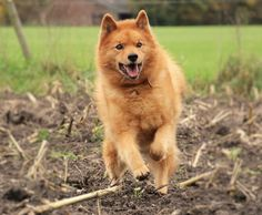 11 years old. Spitz Dogs, Cutest Thing Ever, Rottweiler, Best Dogs, Dog Breeds, Dog Lovers, Corgi, Puppies, Pets