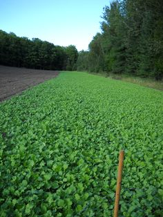 The placement of a food plot is essential to yield good success. Deer behavior and movement will change as the. Food Plots For Deer, Deer Food, Bow Hunting Deer, Turkey Hunting, Hunting Stuff, Deer Habitat, Nature Hunt, Country Lifestyle, Gardening Tips
