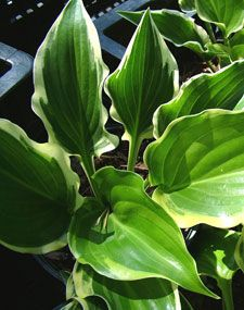 Sugar & Spice Hosta