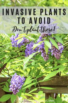 Avoid planting these invasive species in your garden to keep your yard low maintenance and save yourself a lot of effort trying to get rid of them later. Perennial Grasses, Full Sun Perennials, Full Sun Plants, Hardy Perennials, Bamboo Species, Plant Species, Shade Garden, Garden Plants, Indoor Plants