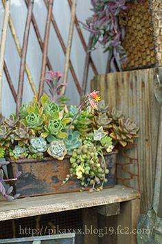 Succulents In Containers, Planting Succulents, Succulent Arrangements, Plantar, Amazing Gardens, Trellis, Decoration, Garden Inspiration, Indoor Plants