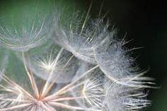 Image result for dandelion metaphor