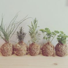Kokedama herb garden, for easy storage. Easy Storage, Herb Garden, Brisbane, House Plants, Greenery, Beautiful Homes, Herbs, Japanese, Rose