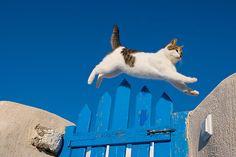 #cat #santorini