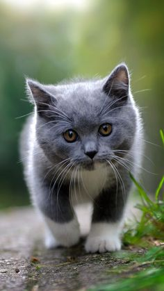 Cute grey kitten. Cute Animals iPhone Wallpapers - @mobile9 #animals #cat