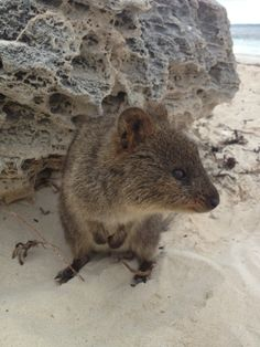 Quokka @ Rottnest Island, WA, Australia