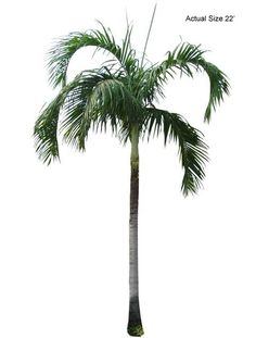 Carpentaria Palm Tree - Welcome to your local online nursery, offering cheap and affordable wholesale discounted plants and palm trees, packaged and shipped around the world! RPT can help achieve your vacation resort in the comfort of your home with a great staff, full of ideas and landscape architects ready to design on any budget. Contact us at www.RealPalmTrees.com if you have questions about planting or installing or needing help importing or exporting fresh plants and palms!