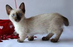 Image result for munchkin cat