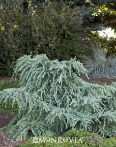 """""""Feeling Blue"""" Cedrus deodar a A unique dwarf spreading evergreen with bluish-green needles. The lowest of the dwarf forms that rarely develops a leader. A wonderful specimen for smaller spaces, rock gardens and containers. 7-9"""