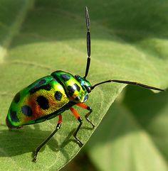 beetle, polka dot on iridescent green