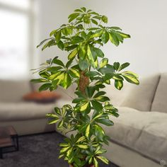 Schefflera arboricola Gold Capella - 1 plant Buy online order yours now