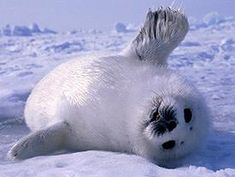 Baby Harp Seal  always thought these were the cutest animals! (only as a baby though)