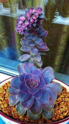 Blue and purple succulent. Magnificent.