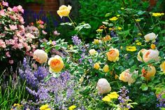 A 'Jude the Obscure' shrub rose, yellow yarrow, and purple catmint form a classic cottage-garden combination.
