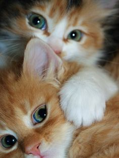 Love Cute Animals shares pics of playful animals, cute baby animals, dogs that stay cute, cute cats and kittens and funny animal images. Kittens And Puppies, Cute Cats And Kittens, I Love Cats, Crazy Cats, Kittens Cutest, Samoyed Puppies, Birman Kittens, Tabby Cats, Bengal Cats