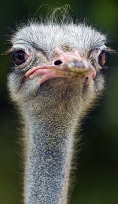 Ostrich is not impressed.