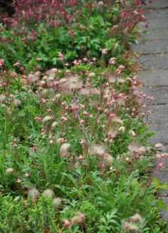 Three Dogs in a Garden: Little Puffs of Smoke - Old Man's Whiskers/Prairie Smoke. The proper botanical name is Geum triflorum.