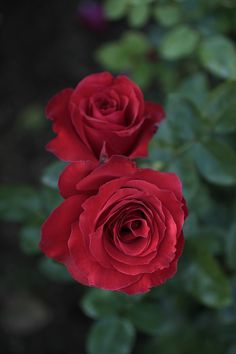 Chocolate Girls, Types Of Roses, Garden Illustration, David Austin Roses, Hybrid Tea Roses, Romantic Roses, Love Rose, All Plants, Love Is Sweet