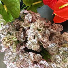 whatever you wish to call her, She's here and back in action! We love her pretty stripey veins and curly trumpety hood ! She's very fancy. Sara C, Flower Texture, Flower Names, Burgundy Flowers, Trumpets, Call Her, Special Events, Wedding Events, Wedding Stuff