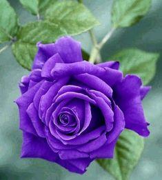 Single Rose, Purple Roses, Different Colors, Amazing, Plants, Beautiful, Bordeaux, Gardens, Wall