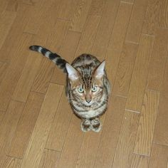 What's wrong?  #cat #catsofinstagram #cats #catstagram #instacat #catlover #catoftheday #bengal #bengalcat #oz #ねこ #猫 #ねこ部 #ねこすたぐらむ #猫部