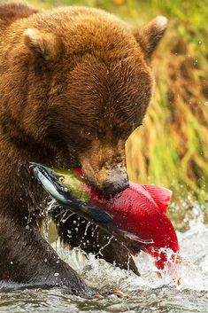 Adolescent Grizzly Bear plucks a random salmon from the river