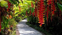I hope my heliconia rostrata's grow this big and drape like this!