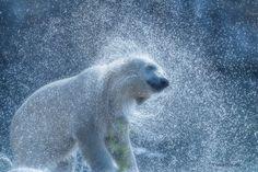 Fotografía Cool Polar Bear . por Patrick dekok..  en 500px