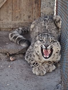 Teeth of the leopard! Gilgit-Baltistan