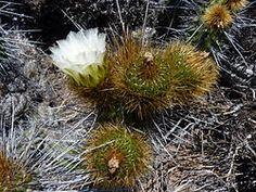 Fauna, Dandelion, Flowers, Plants, Flora, Royal Icing Flowers, Dandelions, Floral, Plant