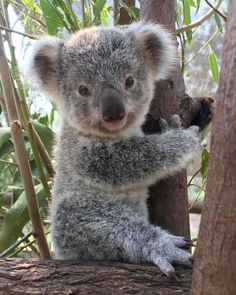 Pets are provided in the home, at the office and in a great many other Cute Funny Animals, Cute Baby Animals, Animals And Pets, Wild Animals, Beautiful Creatures, Animals Beautiful, Koala Marsupial, Baby Koala, Koala Bears