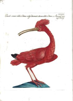 Animal - Bird - Ornithologia, Red bird