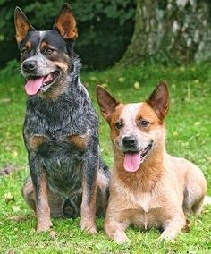 Pinterest Popular Pins Aussie Cattle Dog Austrailian Cattle Dog Cattle Dog