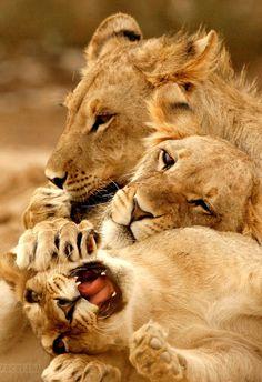 Hermosos Grandes felinos Incluyen a cuatro especies en el género Panthera: el león (Panthera leo), tigre (Panthera tigris), leopardo (Panthera pardus) y el jaguar (Panthera onca). Los miembros de este género son los únicos capaces de rugir, y esto se considera como un elemento característico de los grandes felinos. Todos los felinos son eficientes depredadores carnívoros. Su rango de distribución incluye América, África, Asia y Europa. Sólo Oceania y la Antártida no tienen especies autócto