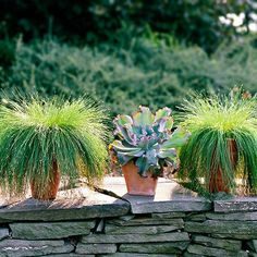 With their variety of shapes, colors, and sizes, grasses are perfect for container gardens. Here, for example, fiber opticgrass (in a simple terra-cotta container) decorates a plain old stone wall. The effect is maximized by a contrasting texture: a gray-blue echeveria. Test Garden Tip: To create the most dramatic effect with grasses, look for the unexpected. Try contrasting colors (such as golden grass in a blue pot), textures, or shapes and sizes./