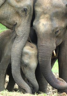~~Protecting baby   elephant calf surrounded with love   by Sallyrango~~