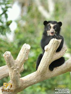 Luka the Andean bear - Phoenix zoo