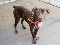 SAFE 7-19-2015 by Heaven Can Wait Rescue - NY --- Manhattan Center CHOPPER – A1043361 MALE, BR BRINDLE / WHITE, MASTIFF / ROTTWEILER, 8 mos OWNER SUR – EVALUATE, NO HOLD Reason TOO BIG Intake condition EXAM REQ Intake Date 07/09/2015