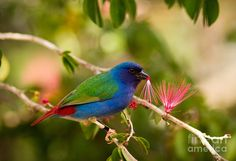 Tricolored Parrot-finch