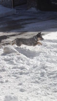 Cattle dog chasing snowballs is majestic