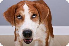 Cincinnati, OH - Boxer Mix. Meet Blue, a dog for adoption…