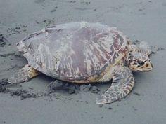 Hawksbill Turtles, Jiquilisco Bay