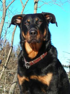 Robusto, the beauceron